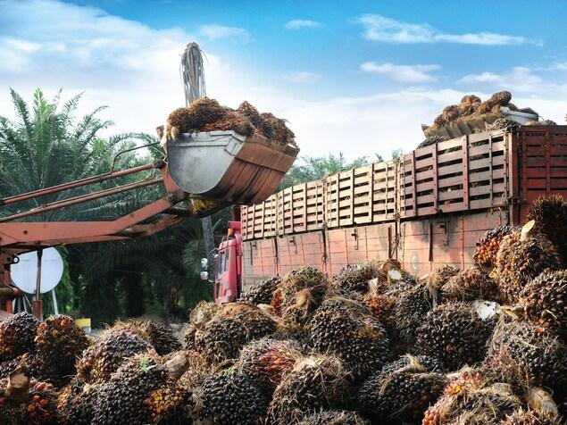 Les fruits sont récoltés puis placés dans des camions.