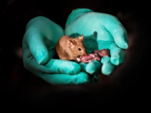 Une souris et deux bébés dans les mains d'un chercheur.