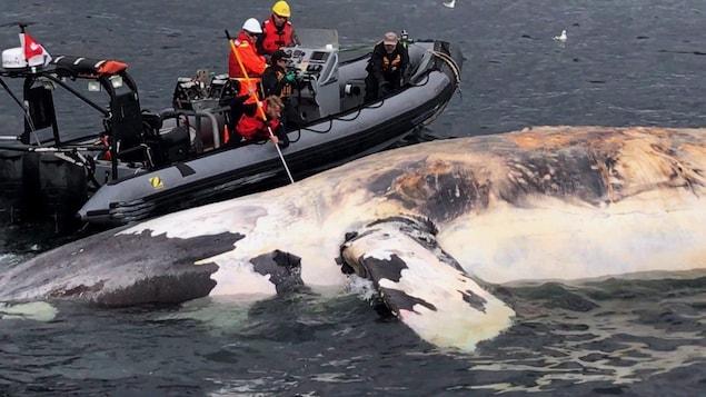 Un bateau de chercheurs près d'une baleine morte flottant dans le golfe.