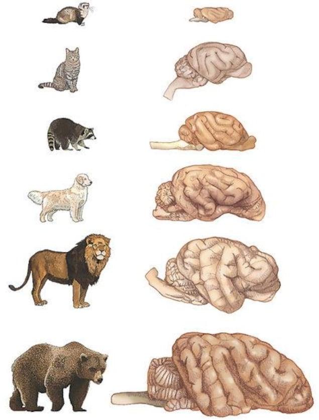Représentation du cerveau de certains mammifères.