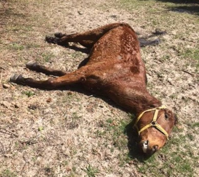 une cheval mort sur le sol