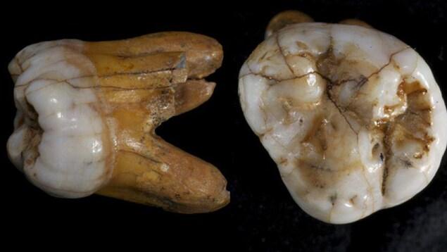 Des dents de Dénisoviens.