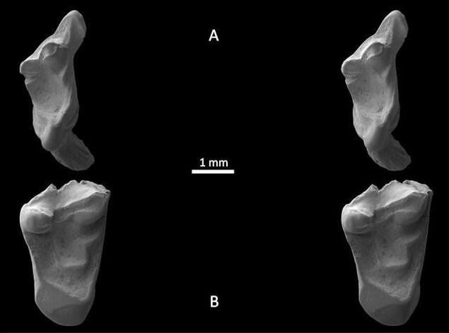 Les dents des espèces Durlstodon ensomi et Durlstotherium newmani.