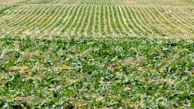 Un champ de canola à la fin juin en Saskatchewan lors d'une sécheresse. (archives)