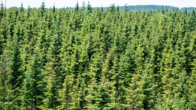 Photo d'une forêt de conifères.