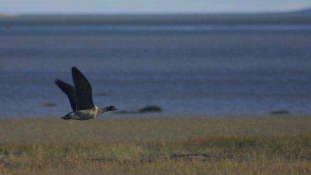 Une bernache cravant en plein vol le long d'un rivage sur la Côte-Nord.