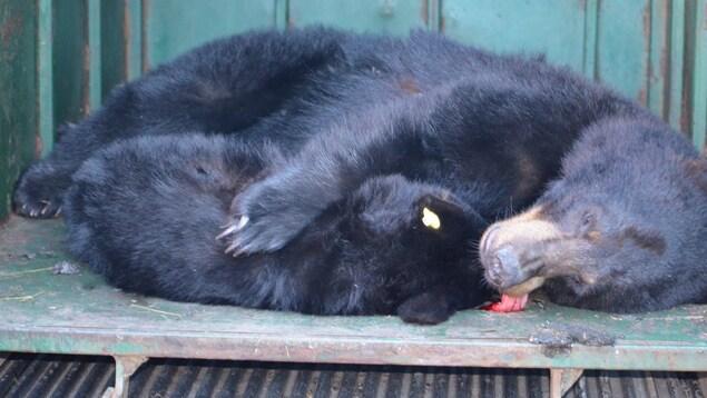 Une maman ourse qui enlace son ourson.