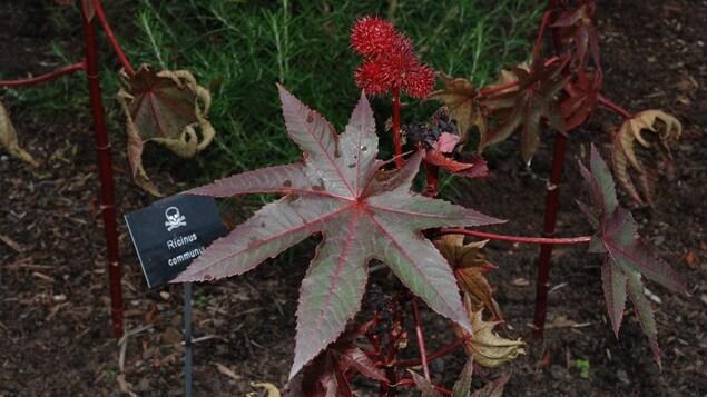 Le ricin commun, une plante toxique