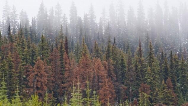 La forêt près de Jasper