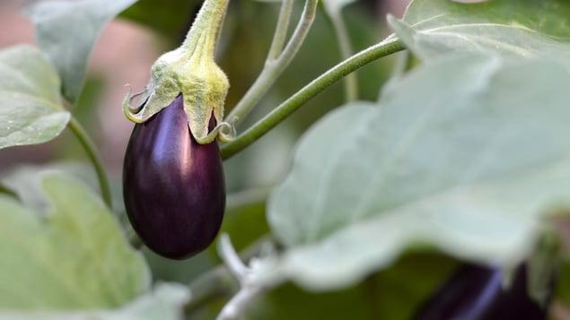 Gros plan sur un plan d'aubergine en pleine maturation.
