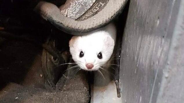 La belette dans un garage.