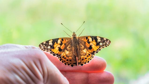 La belle dame, un papillon migrateur diurne