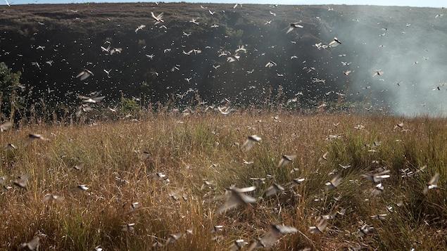 Un essaim de criquets vole au-dessus d'un champ.