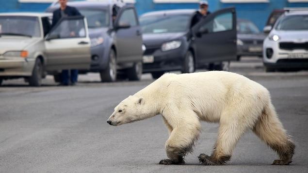Un ours polaire marche dans une rue alors que des automobilistes arrêtés le regardent.