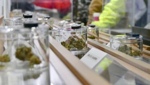 Des échantillons de cannabis dans des présentoirs.