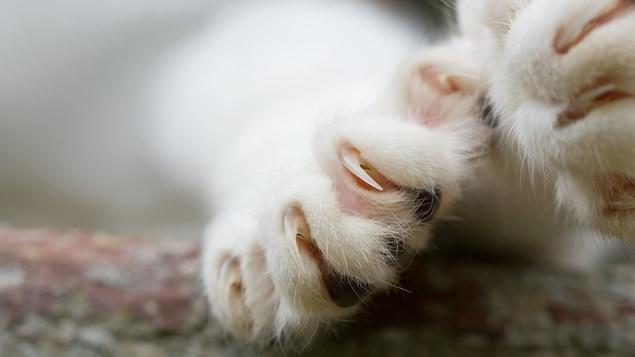 Une patte de chat dotée de griffes