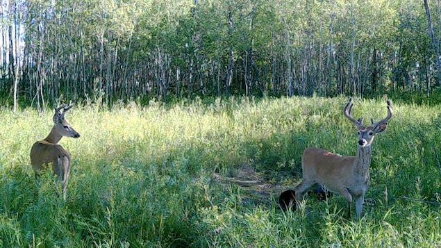 Deux cerfs de Virginie dans un boisé près de Regina, en Saskatchewan