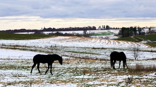 Des chevaux paissent dans un pré dans l'ouest du Wisconsin après les premières chutes de neige de l'année.