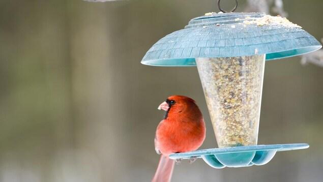 Un cardinal rouge