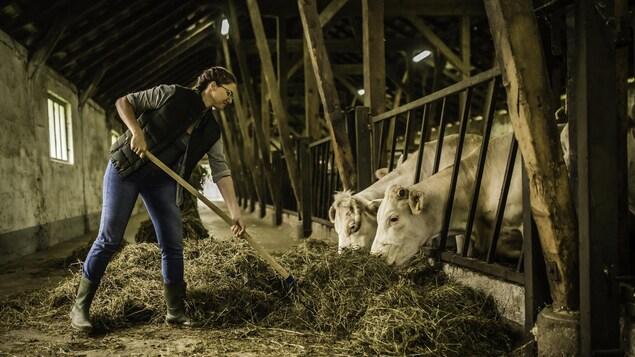 Une femme nourrit le bovin.