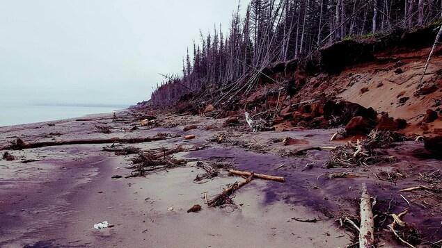 Érosion des berges : plage, épinettes