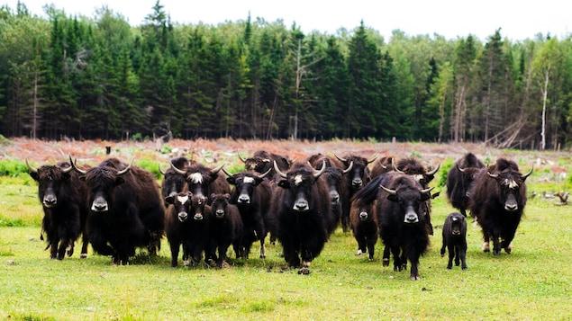 Des yacks dans un champ bordé par la forêt