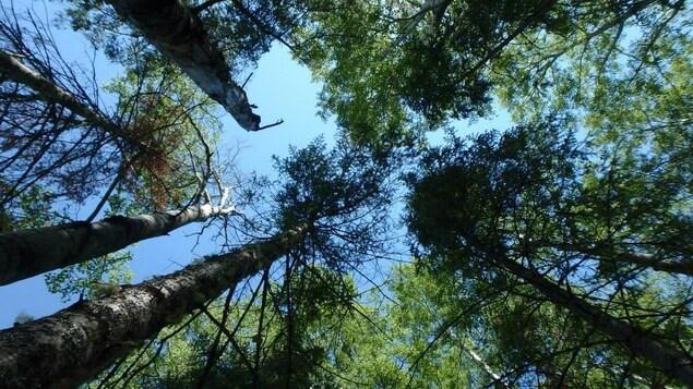 Des arbres de la forêt boréale