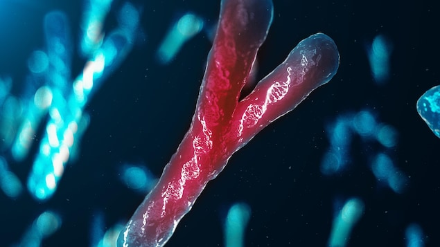 Illustration d'un chromosome Y.