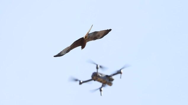 Un oiseau à proximité d'un drone dans le ciel.