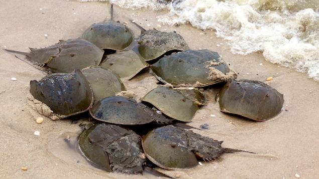 Un groupe de limules sur une plage du Delaware.