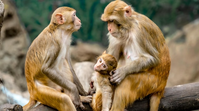 Deux macques assis sur une branche avec leur bébé.