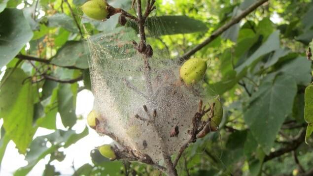Une toile d'araignée forme une boule de la taille d'un ballon autour d'une branche d'arbre.