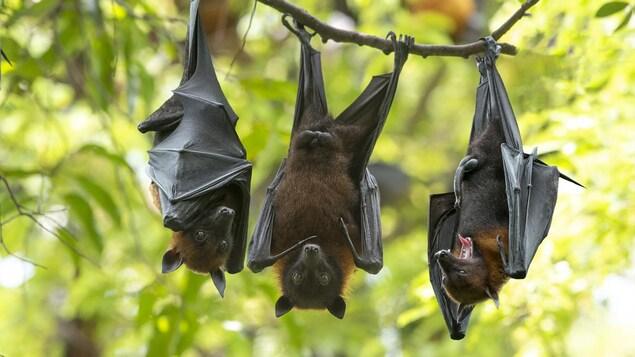 Des chauves-souris suspendues la tête en bas à la branche d'un arbre.