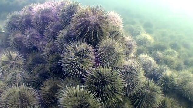 Une colonie d'oursins dans le fleuve Saint-Laurent