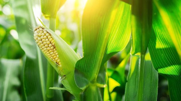 Un épi de maïs sur un plan dans un champ.
