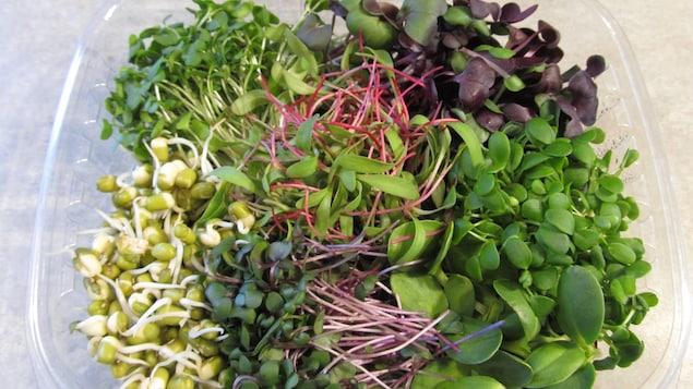 Diverses micropousses de la Jardinière, entreprise spécialisée dans la production de micropousses, de germinations et de jus d'herbe blé.