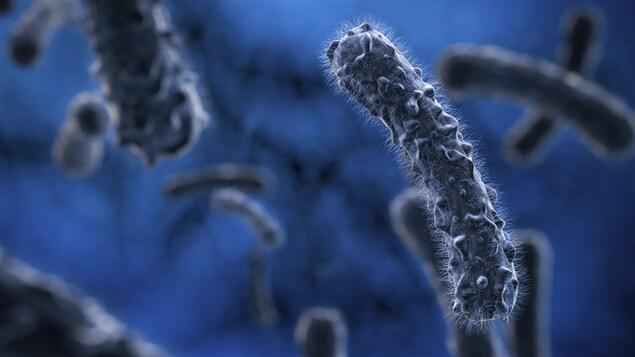 Des bactéries au microscope.