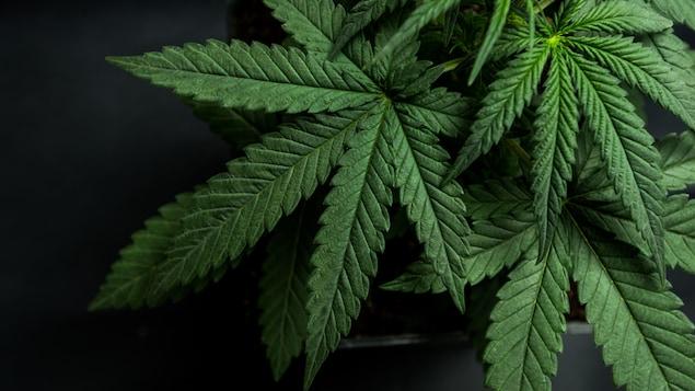 Des feuilles de cannabis sur fond noir.