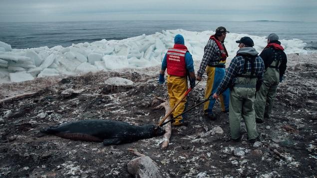 Quatre chasseurs madelinots tirent un phoque qu'ils viennent de tuer.