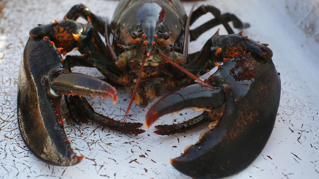 Plan rapproché d'un homard.
