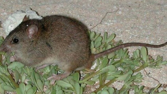 Le rongeur melomys rubicola.