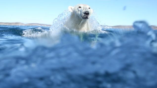 Un ours polaire sort de la mer et semble être surpris par le photographe. De l'eau coule sur la tête de l'animal en pleine action.