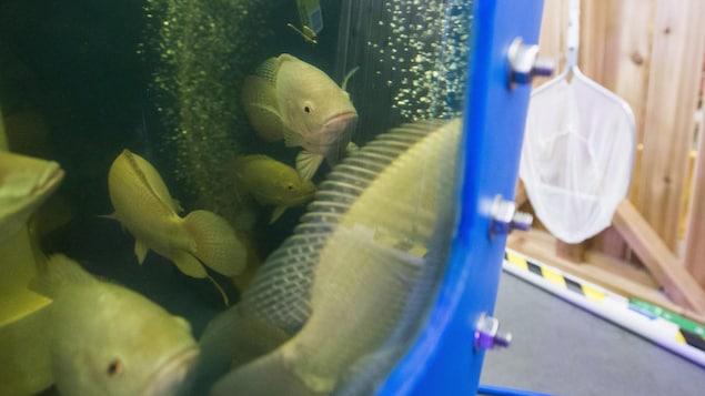 Des tilapias dans un bassin d'élevage en aquaponie.