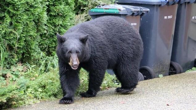L'ours marche sur le bord d'une rue.