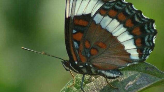 Le papillon amiral devient l'insecte emblème du Québec.