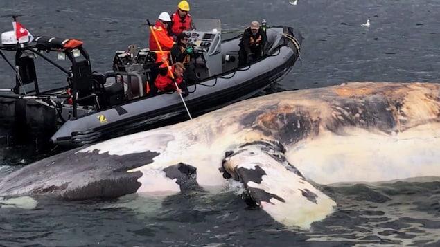 Une baleine noire trouvée morte dans le golfe.