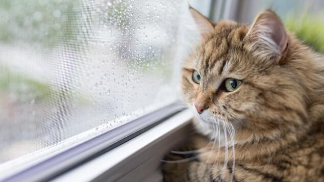 Un chat regarde par la fenêtre, par un jour de pluie.