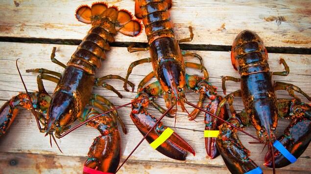 Trois homards vivants sur un plancher de bois.