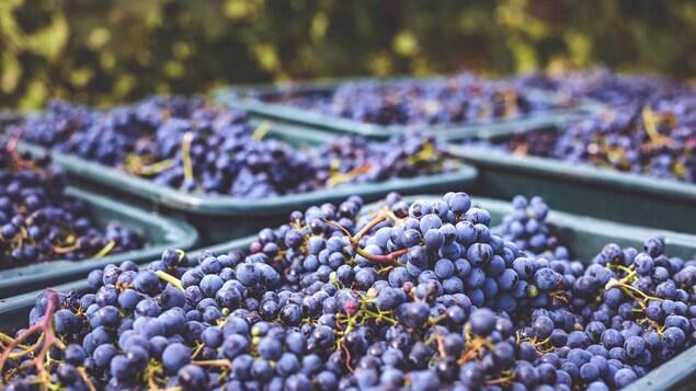 Récolte de grappes de raisin noir dans de grandes cuves dans un vignoble.