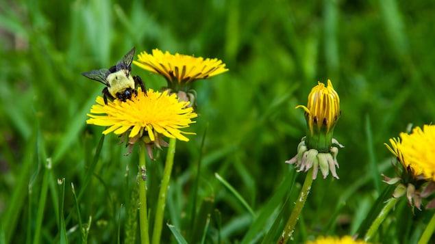 pollenpissenlits7